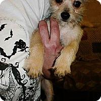 Adopt A Pet :: Munchkin - Silsbee, TX