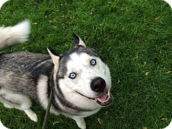 Siberian Husky Dog for adoption in Zanesville, Ohio - Ta'ho