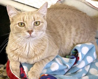 Domestic Shorthair Cat for adoption in St Louis, Missouri - Town