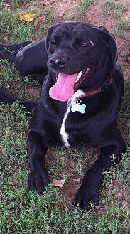 Labrador Retriever/American Pit Bull Terrier Mix Dog for adoption in Columbia, Kentucky - Sadie