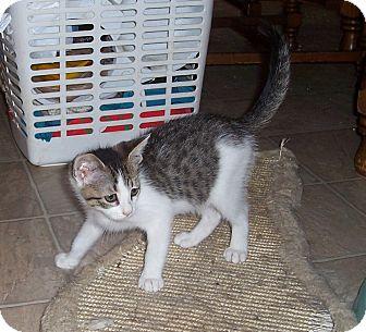 Domestic Shorthair Kitten for adoption in Statesville, North Carolina - Keiko
