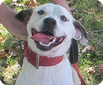 American Bulldog/Labrador Retriever Mix Dog for adoption in Spring Valley, New York - Liberty