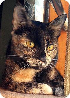 Domestic Shorthair Cat for adoption in Flushing, New York - Pheobe