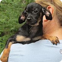 Adopt A Pet :: Kiwi - Ball Ground, GA