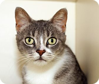 Domestic Shorthair Cat for adoption in Royal Oak, Michigan - DUSTY