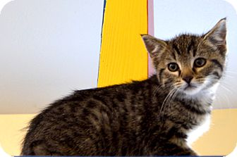 Domestic Shorthair Cat for adoption in Buena Vista, Colorado - Hopper