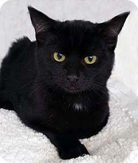Domestic Shorthair Kitten for adoption in Tiburon, California - Pedro