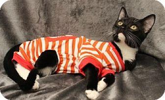 Domestic Shorthair Cat for adoption in Houston, Texas - Jexx