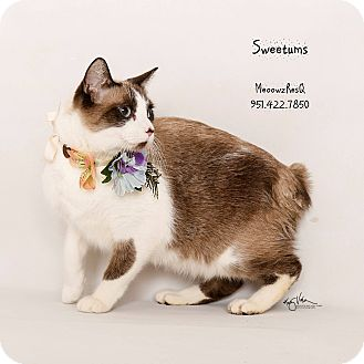 Siamese Cat for adoption in Riverside, California - Sweetums