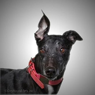 Greyhound Dog for adoption in Woodinville, Washington - Dixie