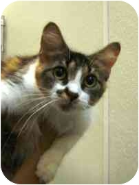 Domestic Longhair Cat for adoption in Walker, Michigan - Lucky Kitty