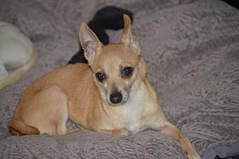 Chihuahua Mix Dog for adoption in Fairmont, West Virginia - Bridget