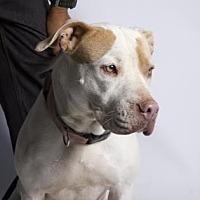 Pit Bull Terrier Mix Dog for adoption in Santa Paula, California - Angelina