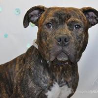Adopt A Pet :: George - Wantagh, NY