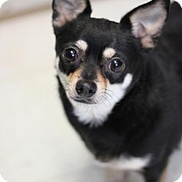 Adopt A Pet :: Henry - Yukon, OK