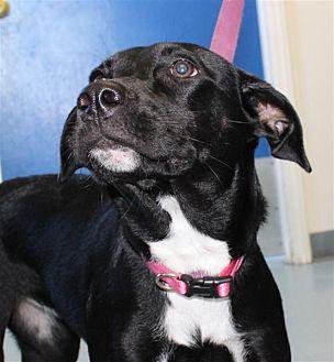 Labrador Retriever Mix Puppy for adoption in Fairfax Station, Virginia - Lucy Lab