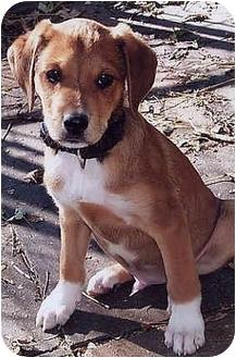 Terrier (Unknown Type, Medium) Mix Puppy for adoption in Owatonna, Minnesota - Harvey