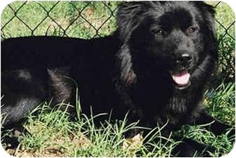 Flat-Coated Retriever Mix Dog for adoption in Marina del Rey, California - Cali