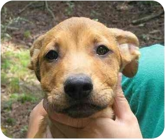 Shepherd (Unknown Type) Mix Puppy for adoption in Newington, Connecticut - Jerry