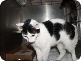 Domestic Shorthair Cat for adoption in El Cajon, California - Marla