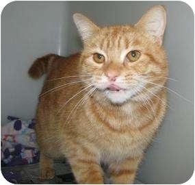 Domestic Shorthair Cat for adoption in Gloucester, Massachusetts - Hadley
