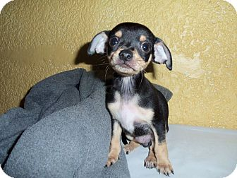 Chihuahua Puppy for adoption in San Diego, California - Randy