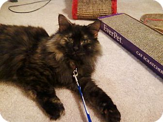 Domestic Longhair Cat for adoption in Richmond, Virginia - Ginger