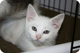 Domestic Shorthair Kitten for adoption in Plainfield, Connecticut - Casper