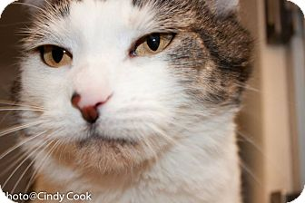 Domestic Shorthair Cat for adoption in Ann Arbor, Michigan - Spot