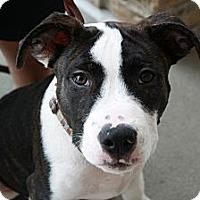 Adopt A Pet :: Sox - Reisterstown, MD
