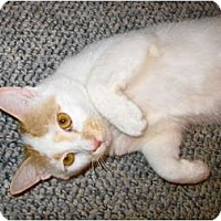 Adopt A Pet :: Caramel Cream - Warminster, PA