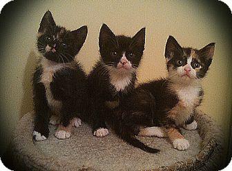 Calico Kitten for adoption in Richmond, Virginia - Mitzi