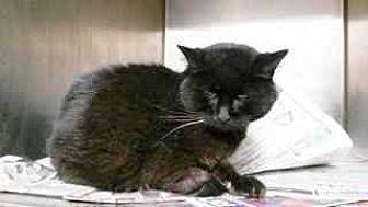 Domestic Shorthair Cat for adoption in Prestonsburg, Kentucky - lolita