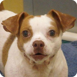 Chihuahua Mix Dog for adoption in Eatontown, New Jersey - Tom