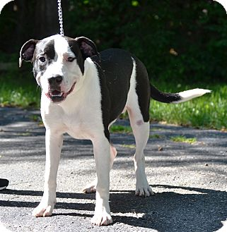 Pit Bull Terrier/Labrador Retriever Mix Dog for adoption in Michigan City, Indiana - Bubba