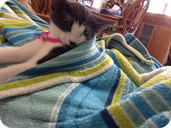 Domestic Shorthair Cat for adoption in Schaumburg, Illinois - Aphridote