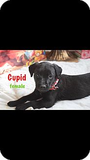 Labrador Retriever Mix Puppy for adoption in Albemarle, North Carolina - 7 week old lab mix pups