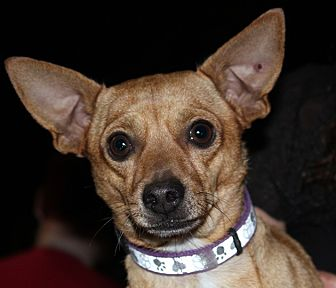 Chihuahua Mix Dog for adoption in Redlands, California - Pedro