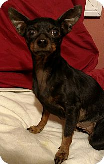 Miniature Pinscher Mix Dog for adoption in San Diego, California - Edith