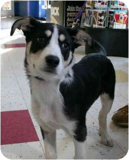 Siberian Husky Mix Puppy for adoption in Various Locations, Indiana - Pixie