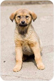 German Shepherd Dog Mix Puppy for adoption in Portland, Oregon - Lily