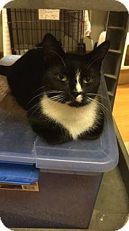 Domestic Shorthair Cat for adoption in Acushnet, Massachusetts - Daisy Mae