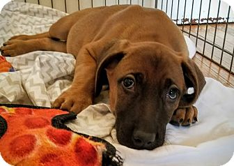 Redbone Coonhound/Labrador Retriever Mix Puppy for adoption in Chicago, Illinois - Carl*ADOPTED!*