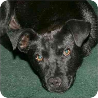Labrador Retriever Mix Puppy for adoption in Berkeley, California - Leroy