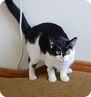 Domestic Shorthair Cat for adoption in Gardnerville, Nevada - Dice