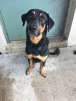 German Shepherd Dog/Rottweiler Mix Dog for adoption in Davie, Florida - Murphy