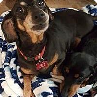 Adopt A Pet :: Abby - Aurora, CO