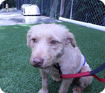 Glen of Imaal Terrier/Skye Terrier Mix Dog for adoption in Lumberton, North Carolina - Josi