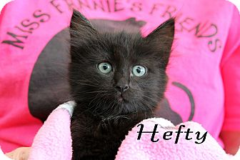 Domestic Mediumhair Kitten for adoption in Wichita Falls, Texas - Hefty