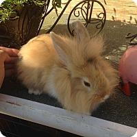 Adopt A Pet :: Bunny 1 - Cerritos, CA